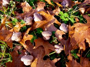 shumard-oak-tree-acorns